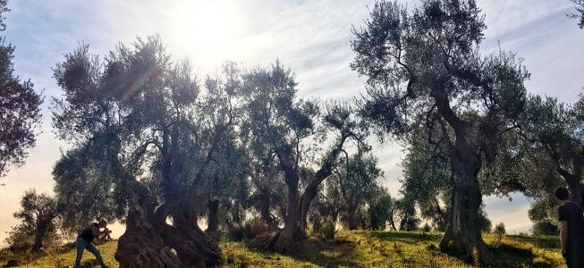 Aan de bron: goede olijfolie